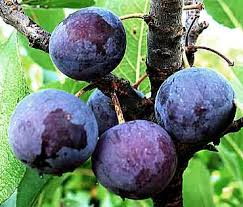 beach plums