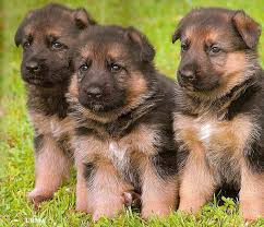 german shepherds puppy