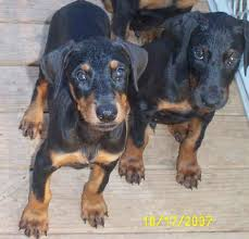 dobermans pups