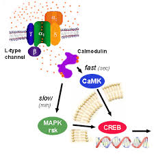 calcium channels