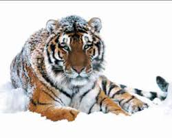 are siberian tigers endangered