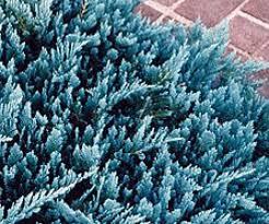 blue rug juniper plants