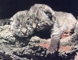 baby big cat