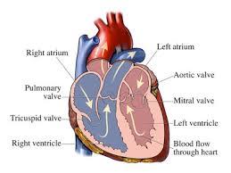 aorta valves