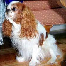 english toy spaniel dogs