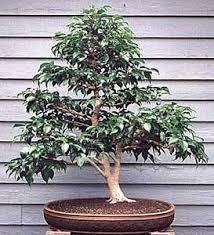 benjamina bonsai