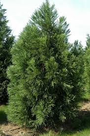 cryptomeria plant
