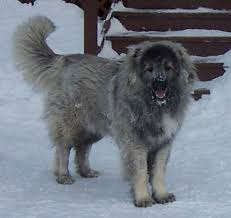 caucasian mountain dog breeders