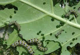 caterpillars eggs