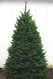 noble fir