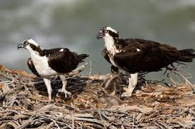 birds osprey