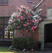 camellia bushes