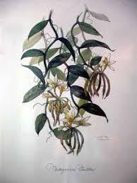 orchids vanilla