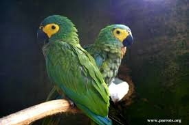 red bellied macaw