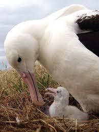 albatross photos