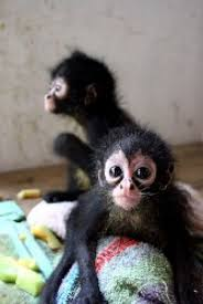 baby spider monkey for sale