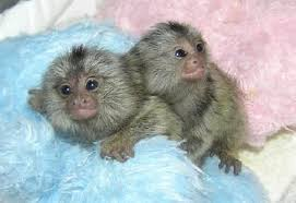 marmosets for adoption