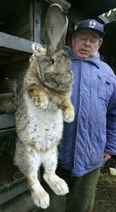 german gray giant rabbit