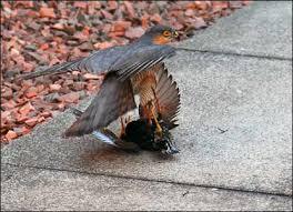 sparrow hawk photos