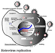 life cycle of a virus