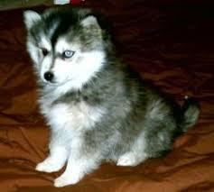 miniature siberian huskies for sale