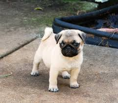 toy pugs for sale