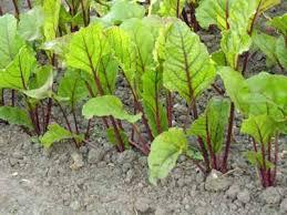 beet growing