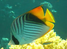 sea angel fish