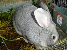 giant rabbit for sale