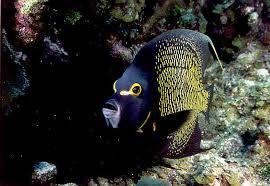 caribbean fish pictures
