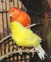 http://t0.gstatic.com/images?q=tbn:vh7oKN8ntDI8IM:http://www.todo-mascotas.com/wp-content/uploads/canarios-color.jpg