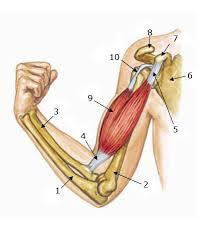 tendons in arm