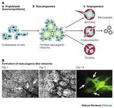 angiogenesis vasculogenesis