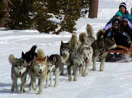 musher dogs
