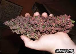 purple haze plant