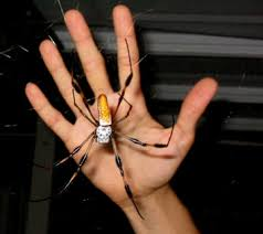 brown banana spiders