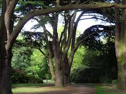 cedar tree images