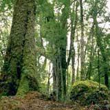 tasmanian forestry