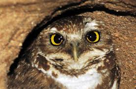 burrowing owls pictures