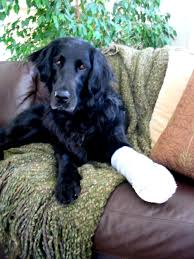 dogs with broken legs