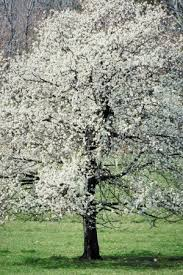 dogwood trees pictures