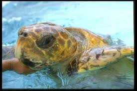 picture of sea turtle