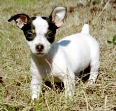 miniature rat terrier puppies