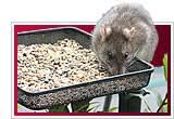 feeding rat