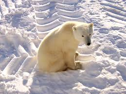 polar bear in tundra