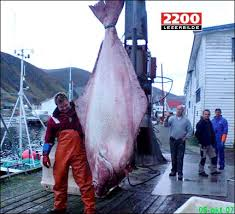 biggest halibut ever caught