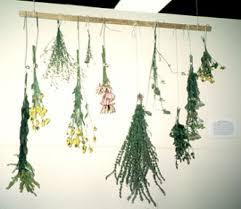 aboriginal herbs
