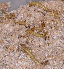small mealworms