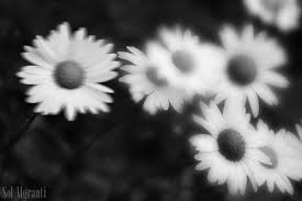 black and white photography of flowers