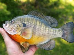 fishing bluegill
